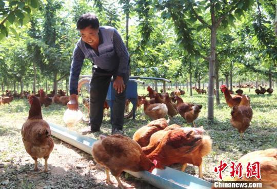 """甘肃西峰撂荒地植经济林果 探""""种养套餐""""助农户脱贫"""