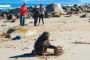 游客南非开普敦海边遭狒狒抢劫 女游客包被抢走