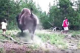 美国黄石公园一头野牛发怒将9岁女童扔向空中