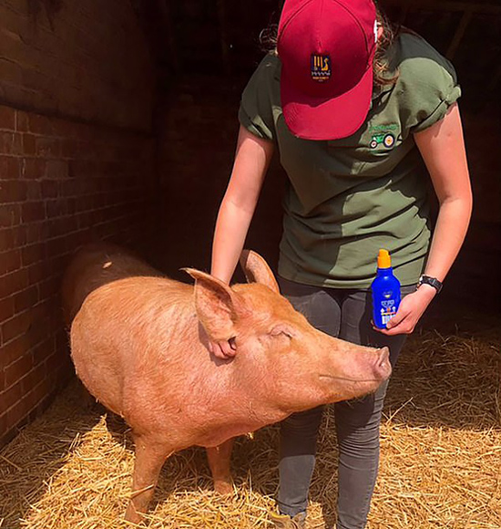 英国一农场为避免猪被晒伤给母猪涂防晒霜