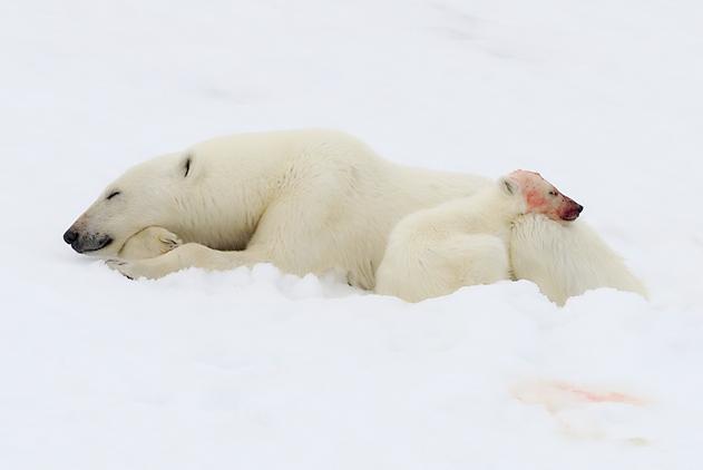 罕见!北极熊母子猎食海豹 熊崽饱到走不动