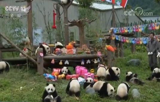 我们1岁啦!18只熊猫宝宝幼儿园里撒欢儿庆生 萌翻全场!