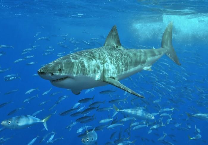 研究表明:过度捕捞导致鲨鱼濒临灭绝