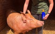 英农场给母猪涂防晒霜
