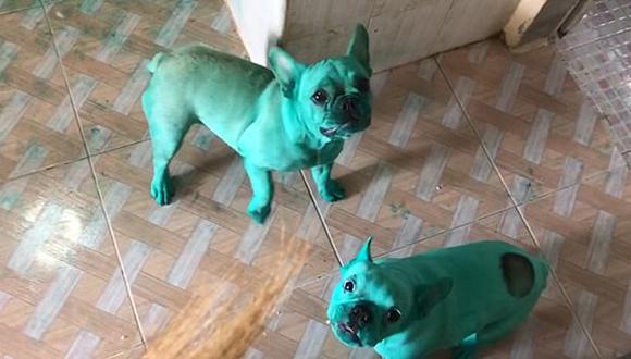 """淘气!泰国两只斗牛犬意外被食用色素染成""""绿巨人"""""""