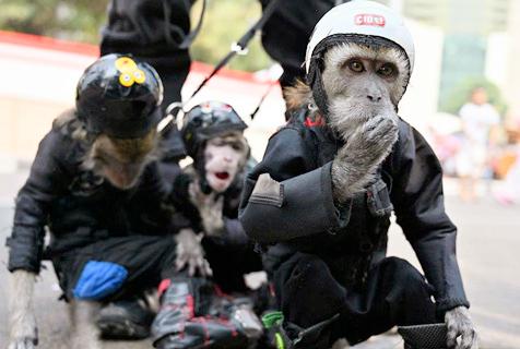 """印尼现猴子""""摇滚乐队"""" 小猴穿朋克装出街表演"""