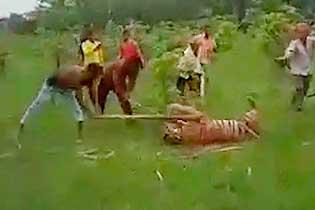 印度一老虎袭击村庄致10人受伤 被村民殴打致死