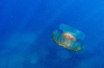 """大型水母现身黎巴嫩海域 色彩绚丽如""""果冻"""""""