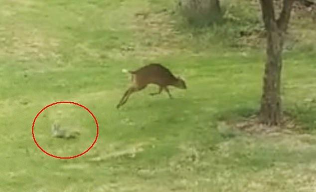 以小胜大!松鼠为保护自己的坚果成功赶走麂鹿