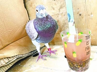 信鸽撞到遮阳网遇险被救 脚环显示来自伊拉克