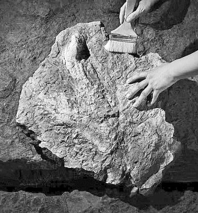上流社会130608申才网古生物学家发现亚洲首例霸王龙脚印