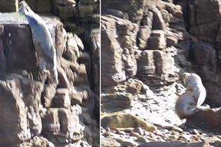 海豹为了躲避游客打扰 不顾危险跳下悬崖
