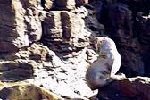 海豹為了躲避游客打擾 不顧危險跳下懸崖