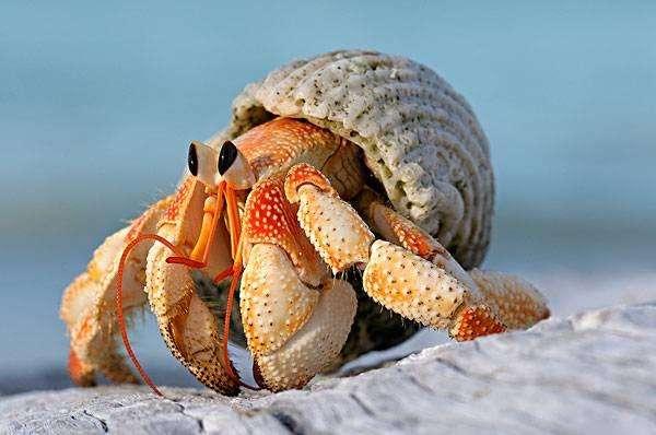 """受环境影响 太平洋偏远岛屿寄居蟹以罐为""""家"""""""