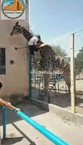 哈萨克斯坦一醉汉翻越动物园围栏骑长颈鹿