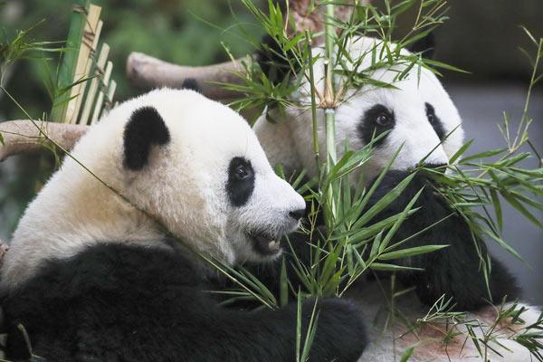 """旅居马来西亚熊猫幼崽正式命名""""谊谊"""""""