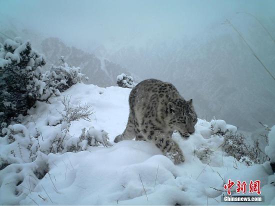 长江源头班德湖地区存在良好的雪豹种群