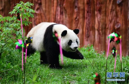 """大熊猫""""初心""""迎来3岁生日"""