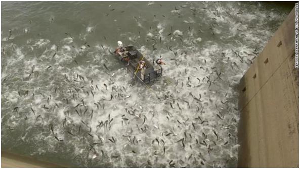 """场面震撼!美国肯塔基州用""""电击""""测鲤鱼数量,无数条鱼同跃水面"""
