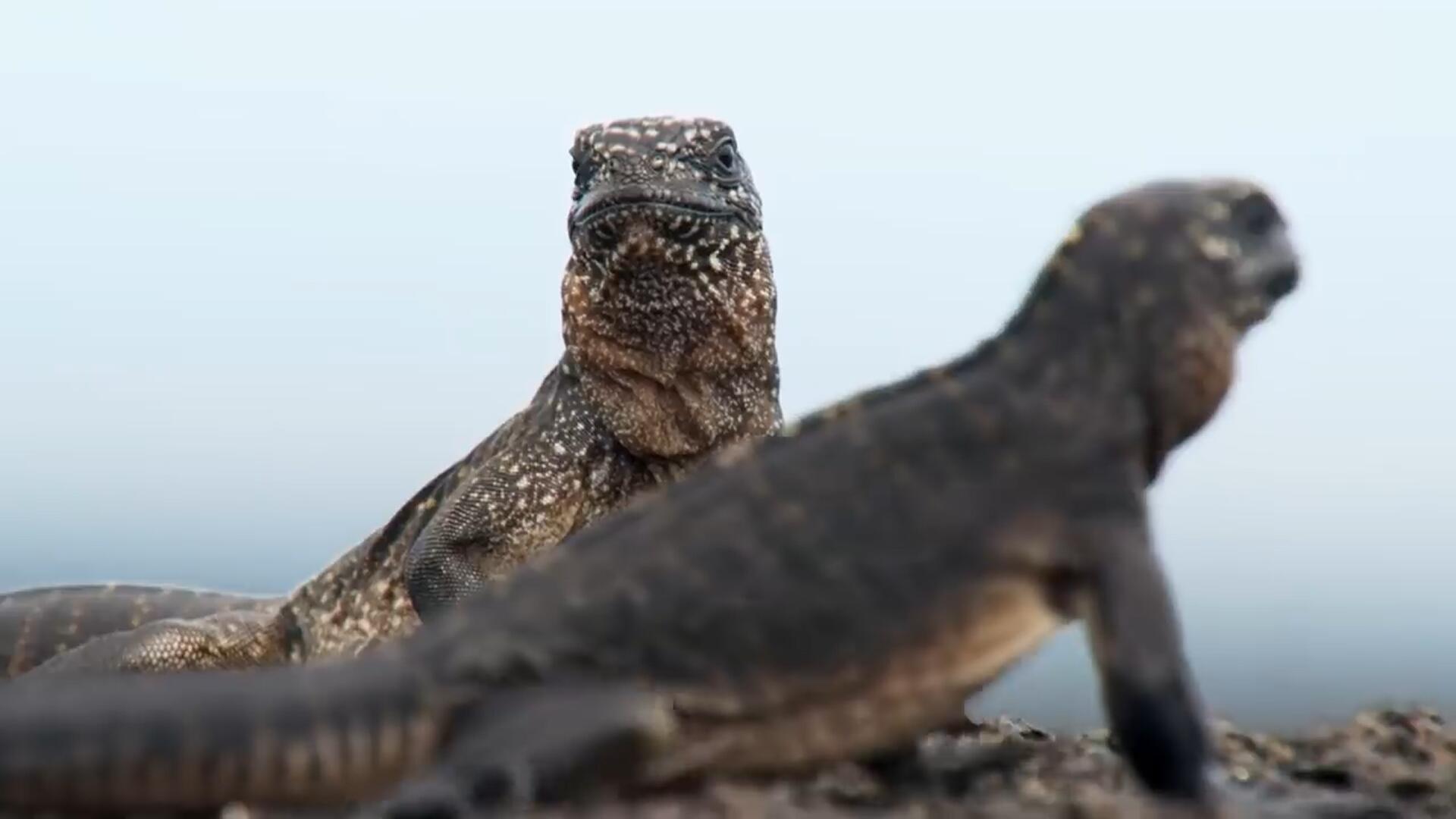 国外疯传的纪录片!海鬣蜥被蛇追赶的惊险片段