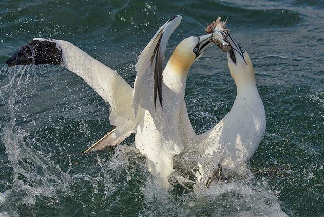 大西洋塘鹅上演抢食大战 互不相让水花四溅
