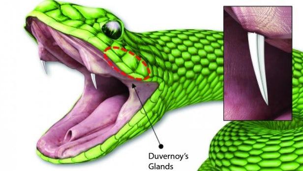 受毒蛇毒牙启发 科学家创造出新的微针给药系统