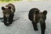 俄罗斯一男子停车投喂小熊崽反遭袭击