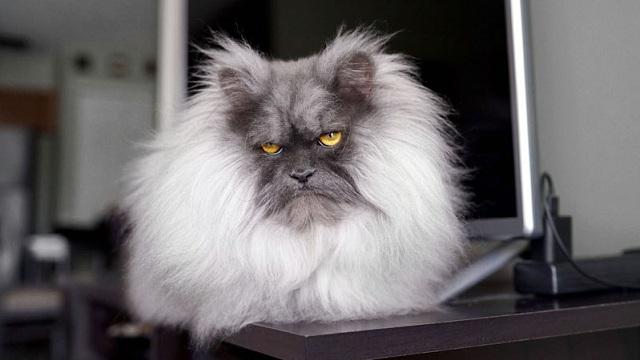"""猫咪因天生""""生气脸""""走红 粉丝遍布全世界"""