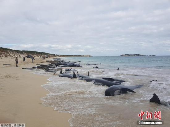冰岛海岸再现大规模搁浅鲸鱼群 搁浅原因仍未解