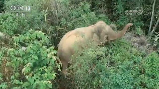 野象来到西双版纳州勐腊县县城 大摇大摆逛街引围观