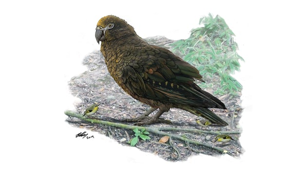 古生物学家在新西兰发现已灭绝巨型鹦鹉的遗骸 体长约1米