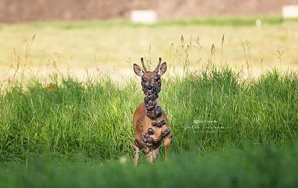 美国摄影师意外拍下长满肿瘤的野鹿 画面令人心碎