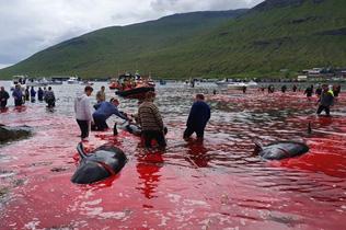 丹麦法罗群岛23头鲸鱼被捕杀 鲜血染红海水