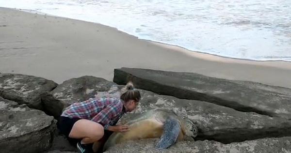 英国情侣海滩解救被困岩石间的巨型绿海龟
