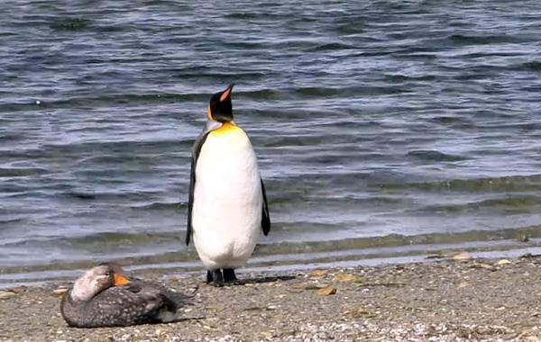 东福克兰岛一企鹅遇见鸭超紧张 小心翼翼避让