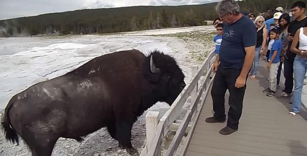 美国黄石公园一男游客不顾劝阻抚摸巨型野牛