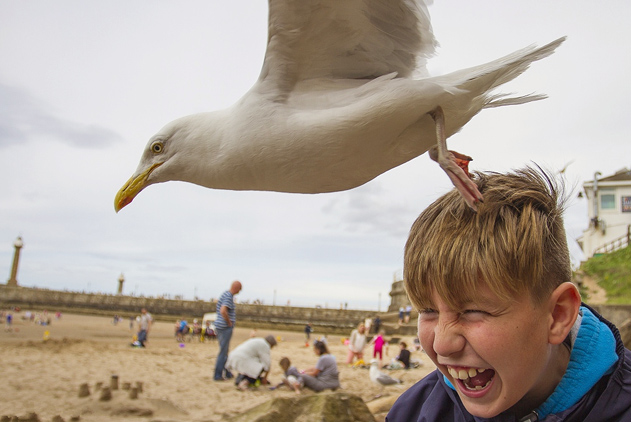 """鸟中恶棍见谁都惹!海滨消暑当心天降""""强盗"""""""