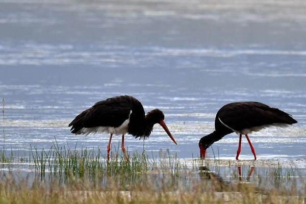 新疆巴音布鲁克湿地发现国家一级保护濒危鸟类黑鹳