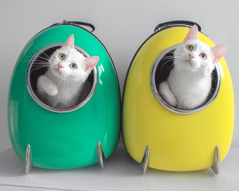 当地时间2019年8月报道,俄罗斯圣彼得堡的双胞胎猫咪Iriss和Abyss同时拥有天生异色瞳,一只眼睛蓝色,一只眼睛金色,再加上它们毛色雪白,颜值又高,萌化人心,让不少人大喊这又是要骗人养猫系列啊!它们的铲屎官Pavel Dyagilev也经常在网络上晒出自家猫咪的生活照,吸引数万粉丝,走红网络。