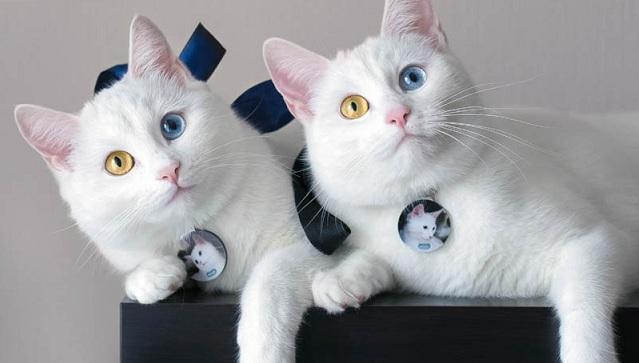 双胞胎喵星人天生异瞳 超高颜值成网红