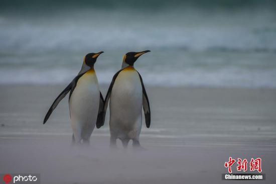 助企鹅过寒冬?澳大利亚动物保护协会吁民众织毛衣