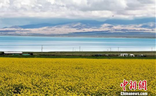 中国侨网青海湖边的油菜田。 智声 摄