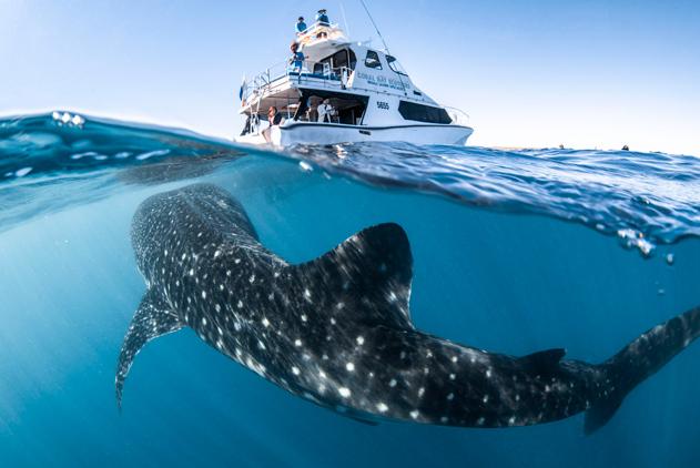 最富好奇心!澳鲸鲨对潜水员感兴趣跟船游15分钟