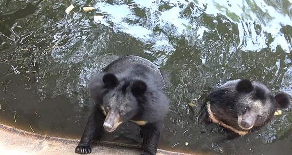心碎!视频记录泰国动物园黑熊在围栏内痛苦挣扎