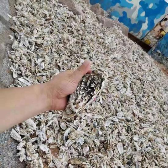 台风过后,青岛海滩上全是海鲜!一铲一麻袋!有人装了一后备箱…