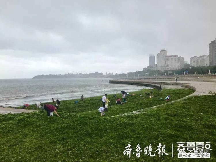台风过后,青岛烟台海滩上全是海鲜和海菜!吃货们成兜往家扛