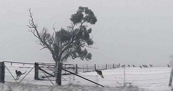 澳大利亚遇罕见大雪 袋鼠集体出动雪地撒欢