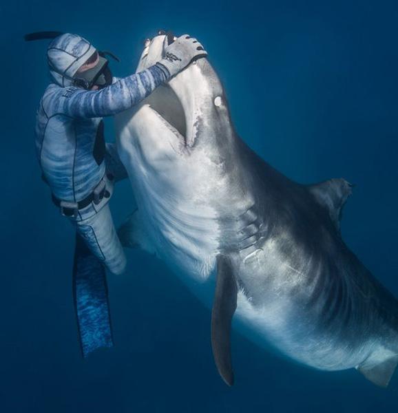 """法国潜水员被称""""鲨语者"""" 轻轻一碰可控制鲨鱼"""