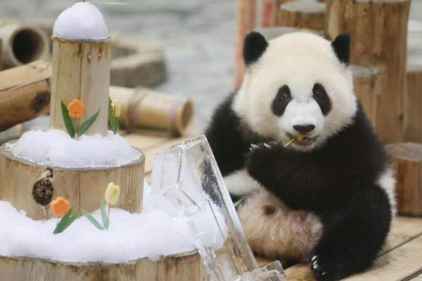 """旅日大熊猫""""彩浜""""一岁啦!小团子独享冰雪蛋糕"""