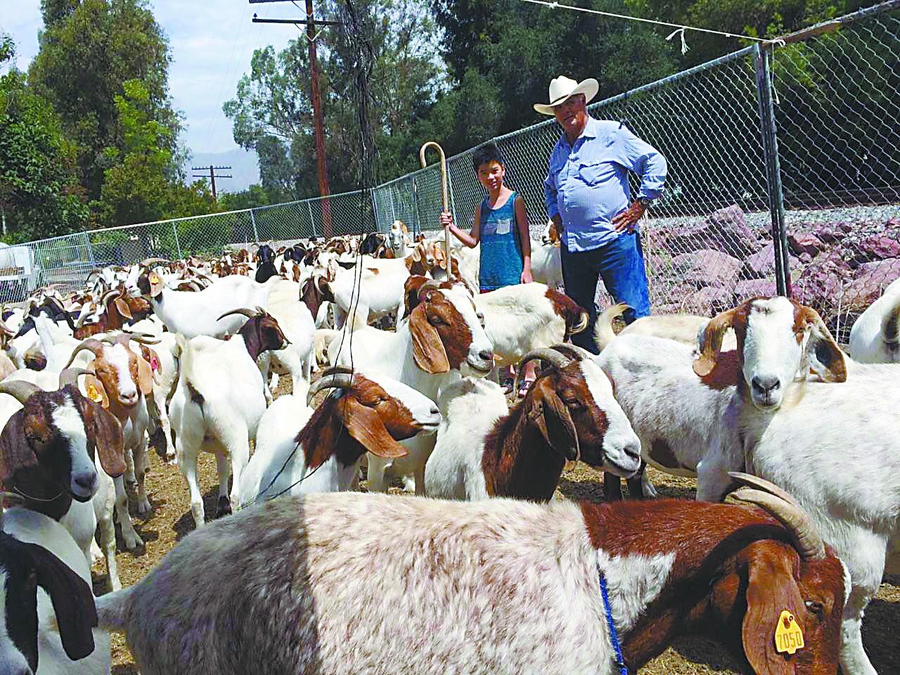乔治和他的400只山羊除草工